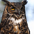 Great Horned Owl Portrait by Doug Lloyd