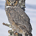 Great Horned Owl Portrait by Ronald Grogan
