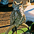 Great Horned Owl by Tommy Anderson