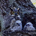 Great Horned Owl Twins by Barbara Bowen