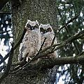 Great Horned Owls Young by John Greim