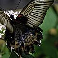 Great Mormon Butterfly by Perla Copernik