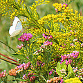 Great Southern White Butterfly Likes The Pink Flowers by Roena King
