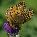 Great Spangled Fritillaries On Thistle Din108 by Gerry Gantt