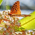 Great Spangled Fritillary Butterfly by Jenny Ellen Photography