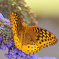 Great Spangled Fritillary Butterfly by Paul Ward