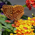 Great Spangled Fritillary by Doris Potter