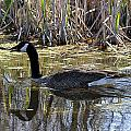 Great Swamp Goose  by Diane E Berry