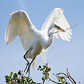 Great White Egret by Bill Swindaman