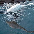 Great White Egret by David Patterson