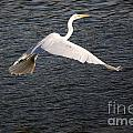 Great White Egret Flight Series - 10 by Roy Williams