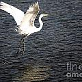 Great White Egret Flight Series - 9 by Roy Williams