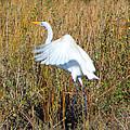 Great White Egret by Jennifer Stockman
