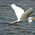 Great White Egret by Norman  Cogswell