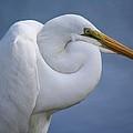 Great White Egret by Paulette Thomas