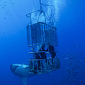 Great White Shark And Divers, Guadalupe by Todd Winner