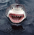 Great White Shark Smile Australia by Mike Parry