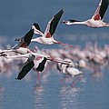 Greater Flamingos In Flight Over Lake by Roy Toft