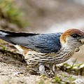 Greater Striped Swallow by Peter Chadwick