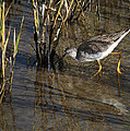 Greater Yellowlegs At Spi by Roena King