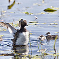 Grebe With Babies by Mark Duffy