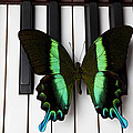 Green And Black Butterfly On Piano Keys by Garry Gay