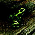 Green And Black Poison Dart Frog by April Patterson