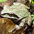 Green And Brown Frog by Cindy Wright