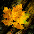 Green And Yellow Maple Leaf In Soft Focus Rests On A Log. by Emilio Lovisa