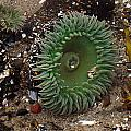 Green Anemone by Linda Hutchins