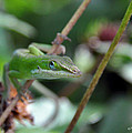 Green Anole by Kay Lovingood