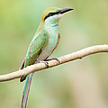 Green Bee-eater (merops Orientalis) by Birds For Life