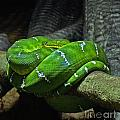 Green Coiled Snake by Dawn Harris