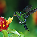 Green Crowned Brilliant Hummingbird by Michael and Patricia Fogden