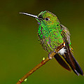 Green-crowned Brilliant by Tony Beck