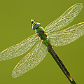 Green Darner by Mircea Costina Photography