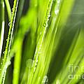 Green Dewy Grass  by Elena Elisseeva