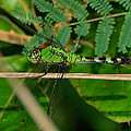 Green Dragonfly At Pond - 51006573f by Paul Lyndon Phillips