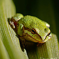 Green Frog 2 by Mitch Shindelbower