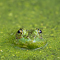 Green Frog Eyes by Stephanie McDowell