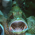 Green Grouper With Open Mouth, North by Mathieu Meur