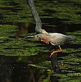 Green Heron by Andrew McInnes