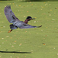 Green Heron In Flight by Stephanie McDowell