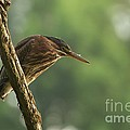 Green Heron by Miguel Celis
