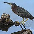 Green Heron Visiting The Pond by Deborah Benoit