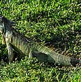 Green Iguana by David Lee Thompson