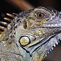 Green Iguana by Natural Selection Ralph Curtin