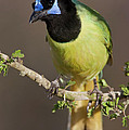 Green Jay 1 by D Robert Franz
