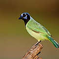 Green Jay 2 by D Robert Franz