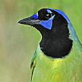 Green Jay Portrait by Dave Mills